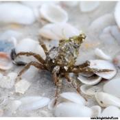 Crab - Florida