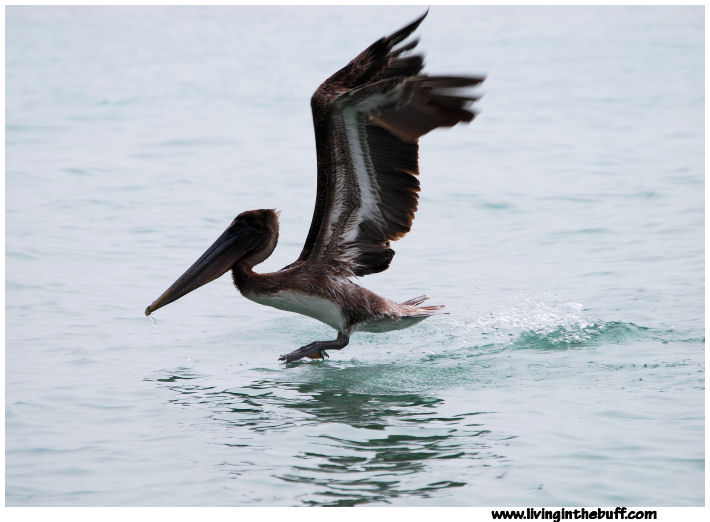 Pelican - Florida