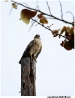 Falcon on utility pole - Florida